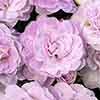 Primula Belarina Pink Ice