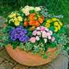 Primula Belarina Mixed