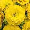 Primula Belarina 'Day-Glo Yellow'