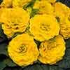Primula Belarina Day-Glo Yellow