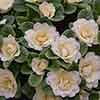 Primula Belarina 'Lemon Chiffon'