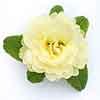 Primula Belarina Lemon Chiffon