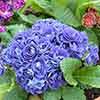 Primula Belarina Baltic Blue