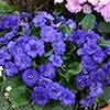 Primula Belarina Cobalt Blue