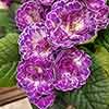 Primula Belarina Lively Lilac