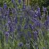Lavender Collection