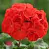 Geranium Cabaret Red