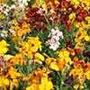 Hardy Wallflowers - Tall Persian Carpet Mix