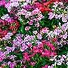 Dianthus Corona Mix