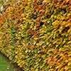 Hornbeam Carpinus betulus Hedging