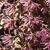 Chinese Witch Hazel 'Firedance'