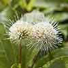 Cephalanthus Magical Moonlight