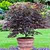 Japanese Maple (Acer) Plant Collection - 3 varieites in 3L pots