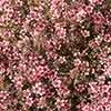 Leptospermum Manuka Tea Tree Collection