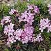Daphne 'Pink Fragrance'