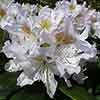 Rhododendron 'Madam Masson'