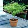Acer palmatum Dissectum 50cm standard 3L