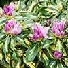 Premium Rhododendron Molten Gold in a 2L Pot