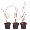 Acer palmatum Japanese Maples Set of 3