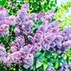 Dwarf Lilac Syringa Sugar Plum Fairy