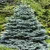 Picea pungens 'Super Blue'