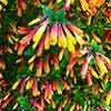 Jacobinia pauciflora, Justicia rizzinii 'Brazilian Fuchsia'