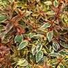 Abelia grandiflora 'Tricolour Charm' (R)
