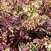Blueberry Vaccinium corymbosum Cabernet Splash