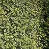Pittosporum tenuifolium Tom Thumb