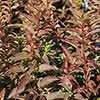 Forsythia viridissima var. koreana Kumson