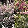 Snowberry Symphoricarpos 'Magical' Collection