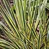 Needle Palm Yucca filamentosa 'Bright Edge'