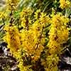 Forsythia intermedia Minigold