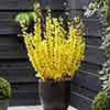 Easter Tree Forsythia intermedia 'Mikador'