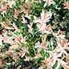 Salix integra Hakuro-nishiki Flamingo Willow