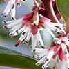 Sarcococca hookeriana humilis