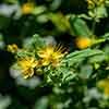 Hypericum inodorum 'Magical Beauty'