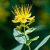 Hypericum inodorum Magical Beauty