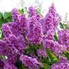 Crepe Myrtle Lagerstroemia 'Violet'
