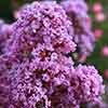 Crepe Myrtle Lagerstroemia Violet
