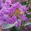 Crepe Myrtle Lagerstroemia Violet 9cm