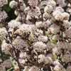 Physocarpus opulifolia All Black