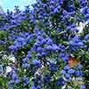 Californian Lilac on Trellis 17cm