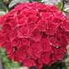 Hydrangea 'Magical Pink Ruby'