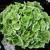 Hydrangea Magical Emerald