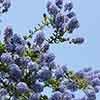 Californian Lilac 'Italian Skies'