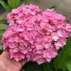 Hydrangea macrophylla Sweet Seduction