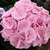 Hydrangea macr. Sweet Seduction 9cm
