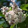 Syringa vulgaris 'Beauty of Moscow' 9cm