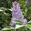 Syringa vulgaris 'Michel Buchner' 9cm
